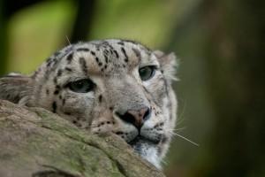 Snöleopard-1