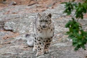 Snöleopard-2
