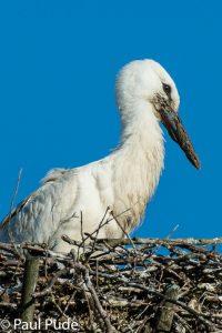 Stork-7